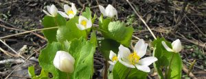 Workshop: Spring Wildflower ID @ Kortright Centre for Conservation
