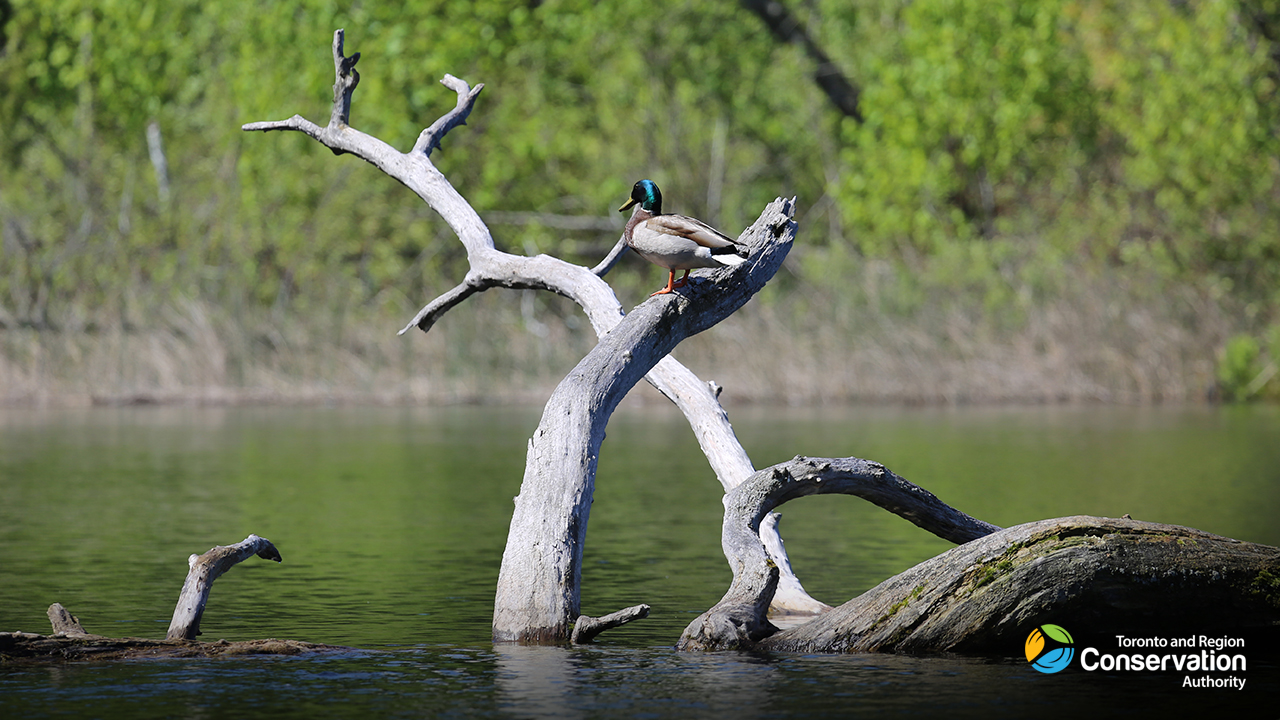 duck perches on partially submerged tree