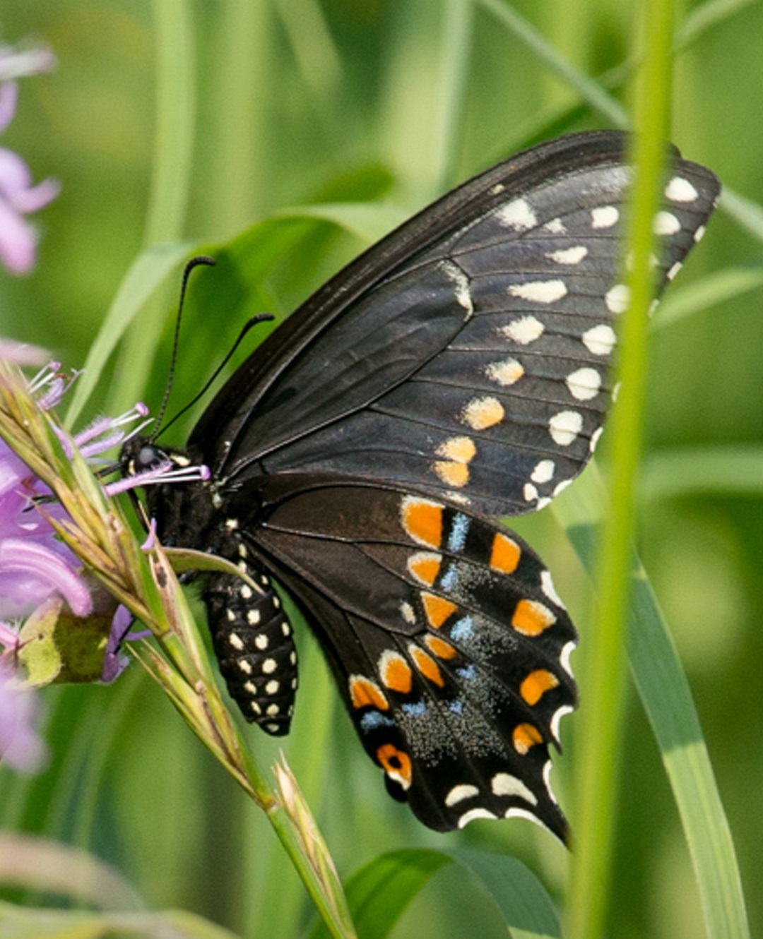 butterfly pollinates flower