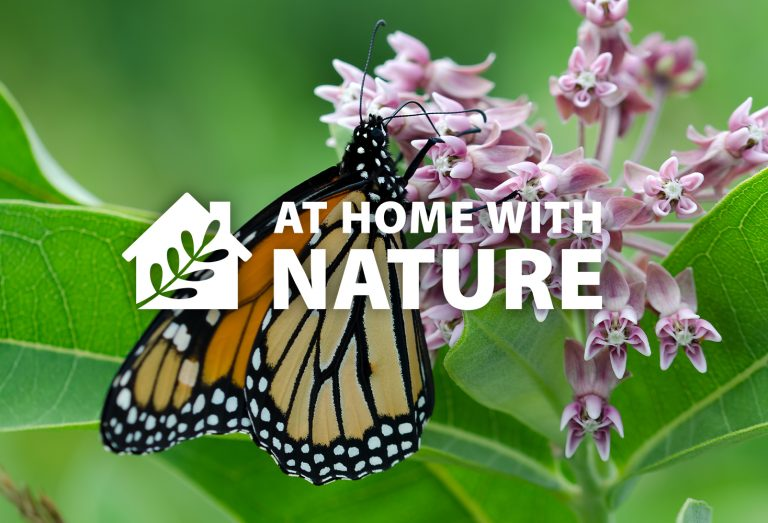 At Home With Nature - Monarchs and Milkweed