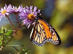 Gardening for Birds, Butterflies, and Beyond @ Online Webinar - General Audience