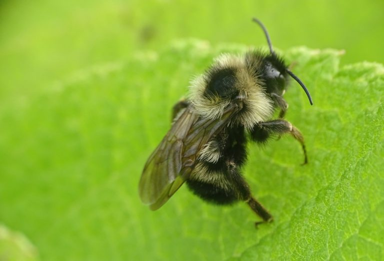 Small native bee species on a leaf