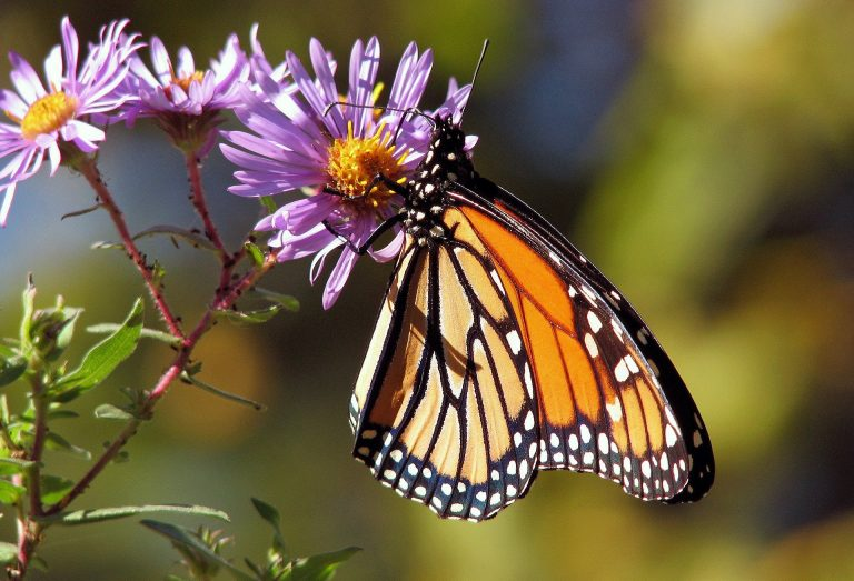 Monarch butterfly on a New England Aster flower
