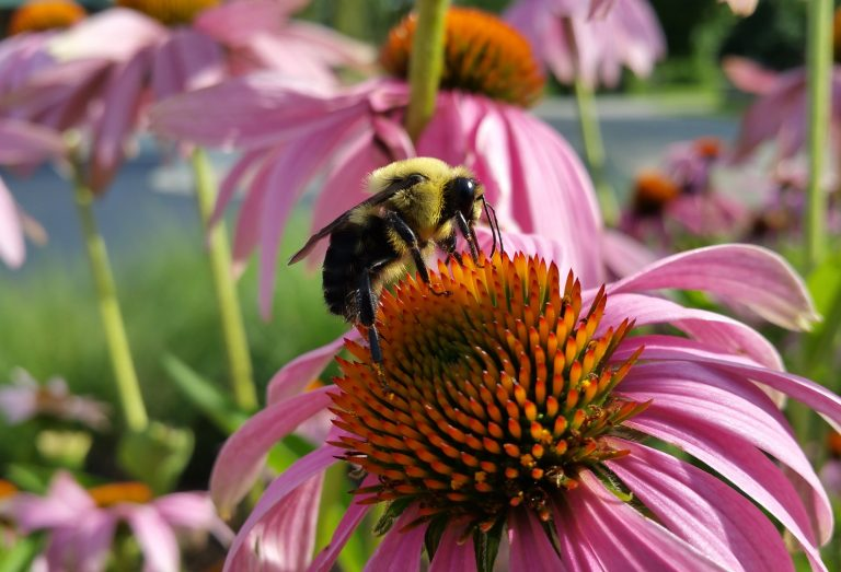 Bumble bee on an echinacea plant