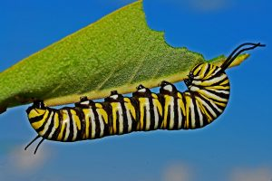 From Milkweed to Monarchs...For Kids! @ Online Webinar - For Kids