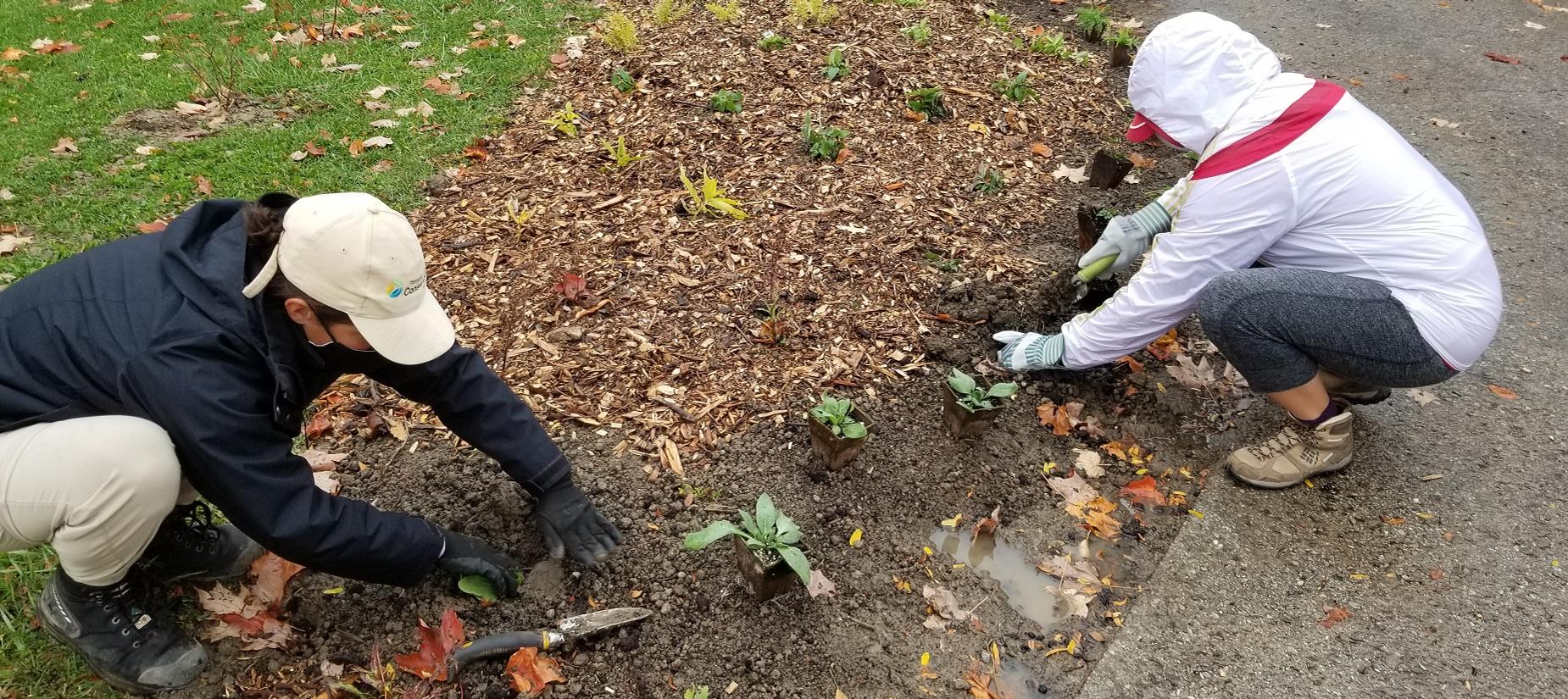 volunteer garden stewards plant native shrubs and wildflowers in Heritage Hills Parkette